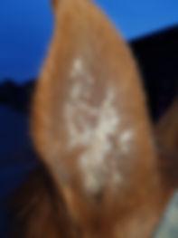 aural plaques paardendierenarts Hilde Schillings