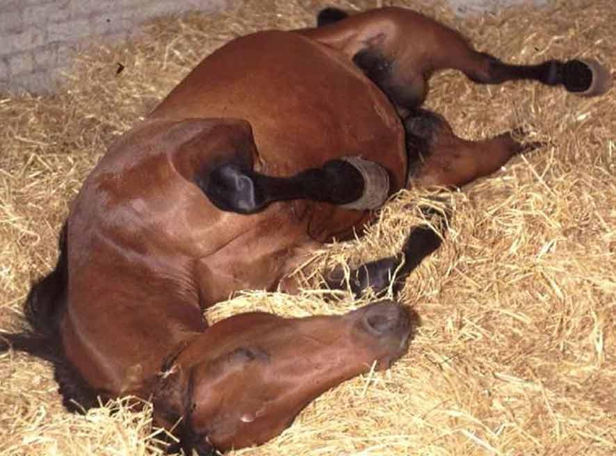koliekpaard rollend in de stal