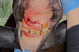 paardengebit na extractie van aangetaste EOTRH tanden