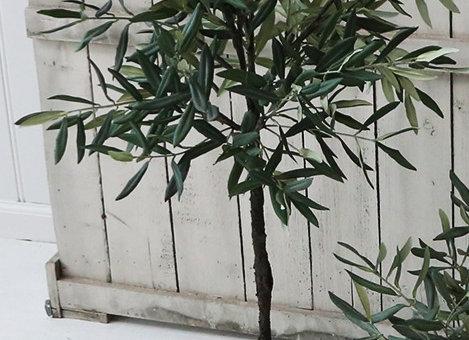 Oliventræ, fantastisk smuk