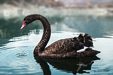 Pulwama Black Swan