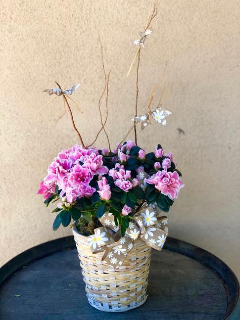 Azalea in Basket