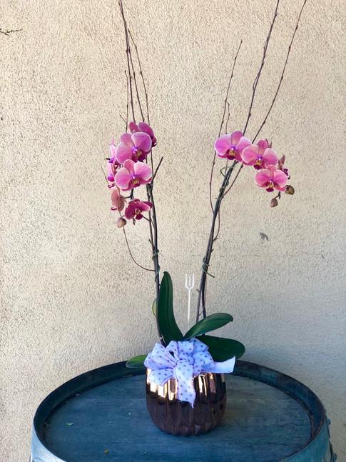Double Spike Phaleonopsis Orchid