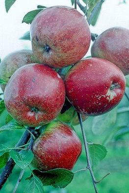 Haralson apple tree