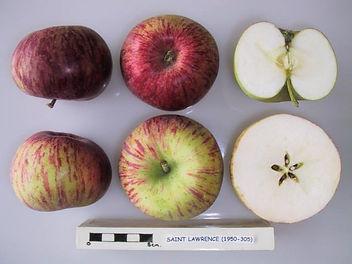 Яблоко Saint Lawrence