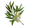 tea tree seul.png