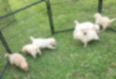 Winston/Bella Puppies2-2020.jpg