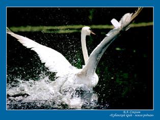 лебедь60х80.jpg