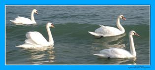 лебеди 70х155.jpg