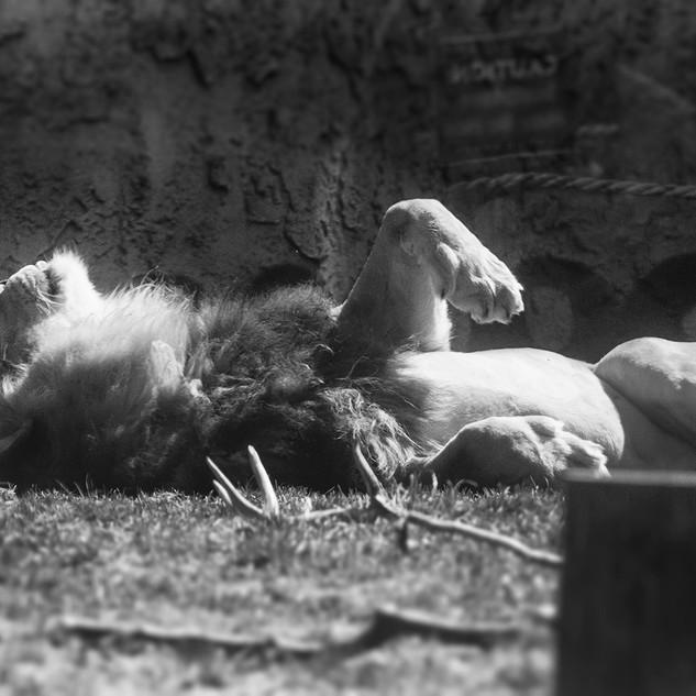Lazy Lion Columbus Zoo