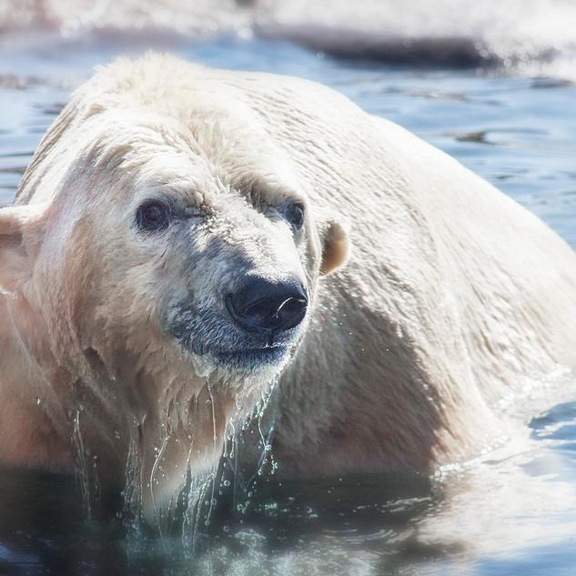 Polar bear Columbus Zoo