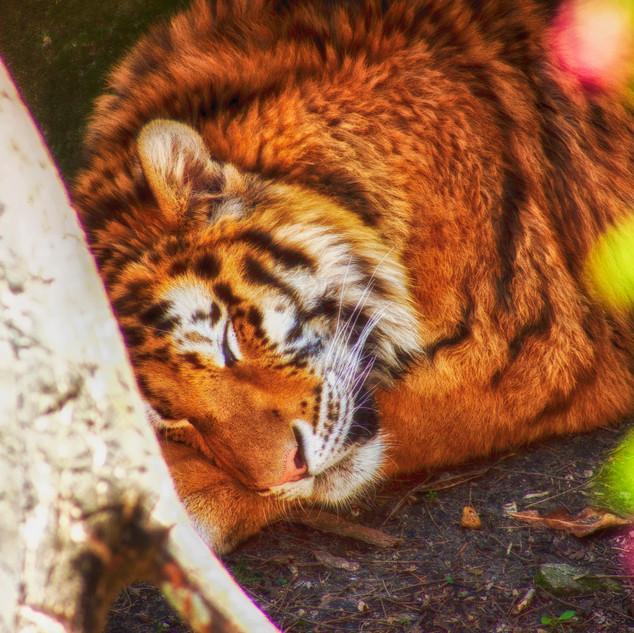Sleepy Tiger Columbus Zoo