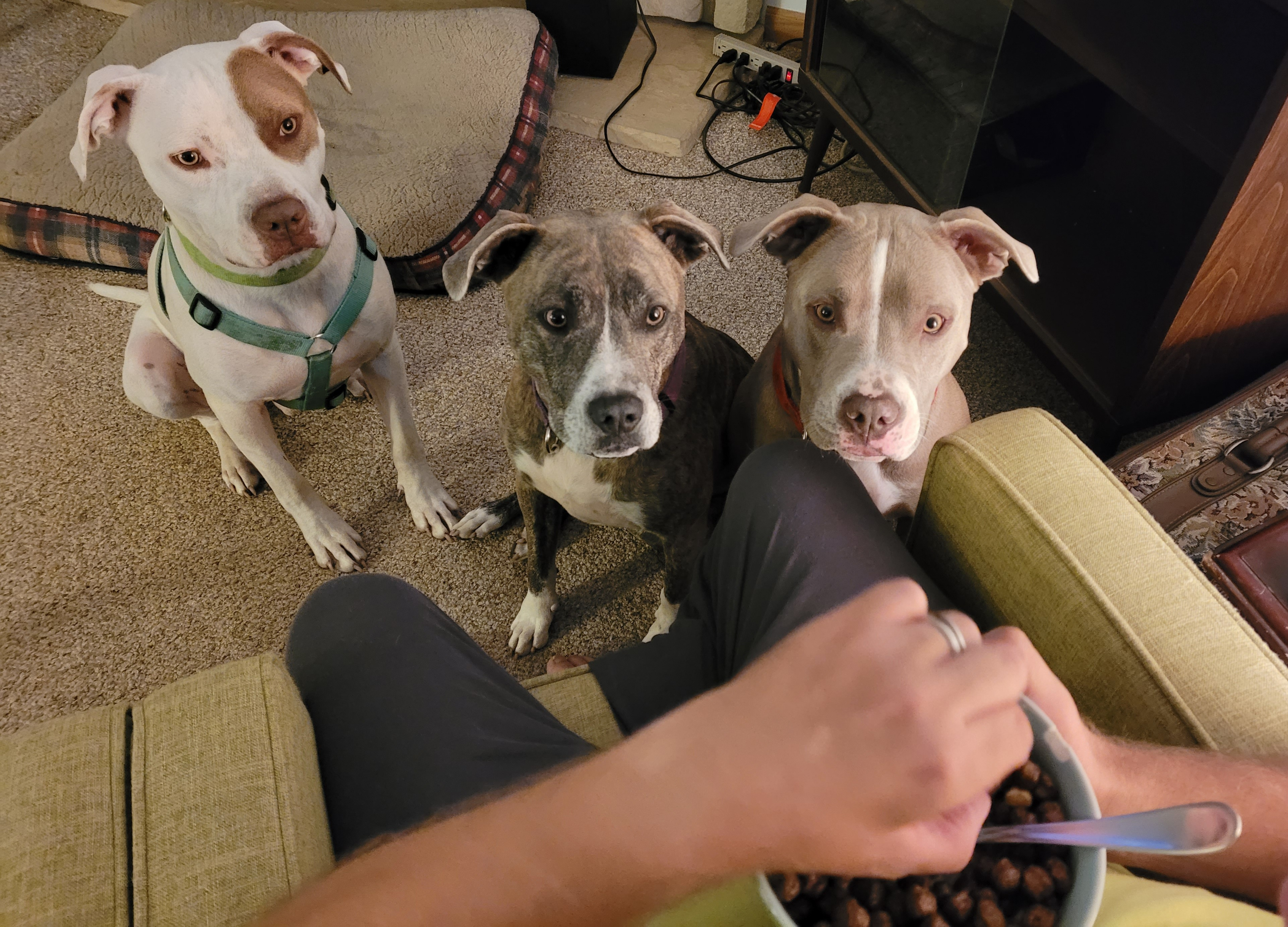 My pitbull pack