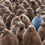 Adult King Penguin (Aptenodytes patagoni