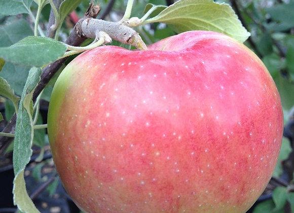 Apple - Dwarf Prairie Magic