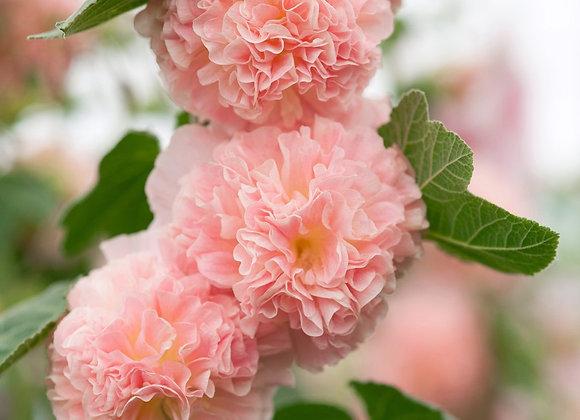 Hollyhock - Peaches N Dreams