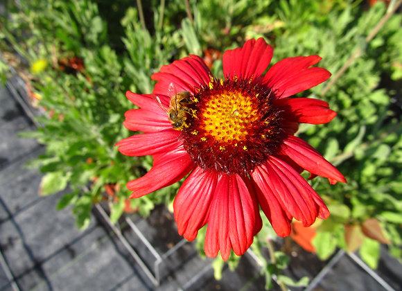 Blanket Flower - Burgundy