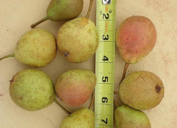 Pear - Ure