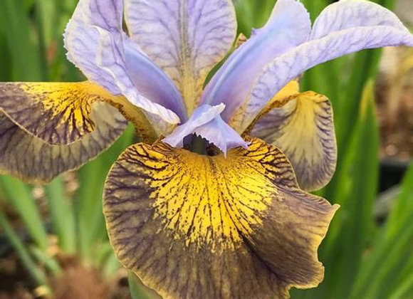 Iris - Peacock Uncorked