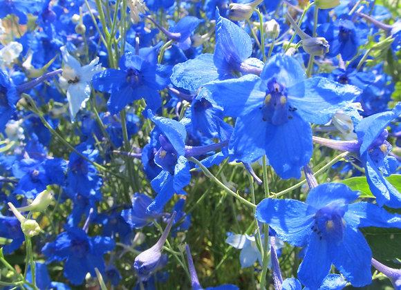 Larkspur - Blue Butterfly