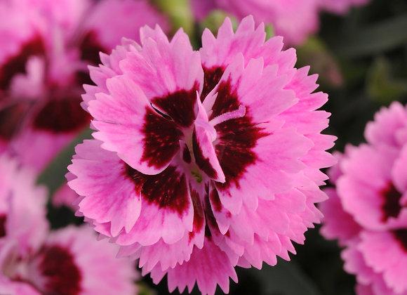 Carnation - Lilac & Eye