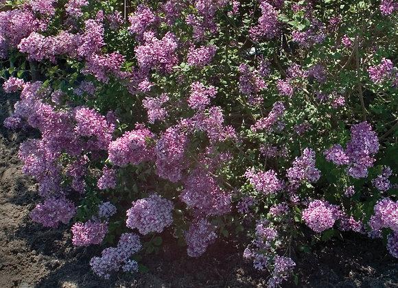 Lilac - Bloomerang Purple