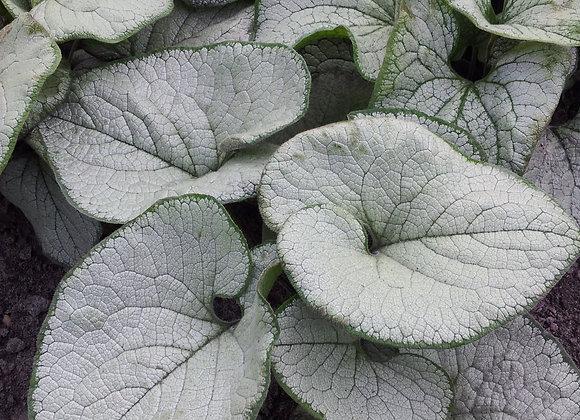 Bugloss - Silver Frost Heart