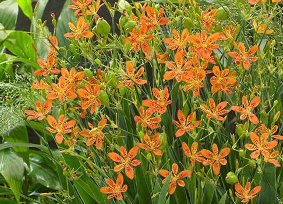 Blackberry Lily - Freckle Face