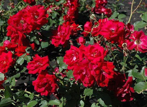 Hardy Rose - Champlain