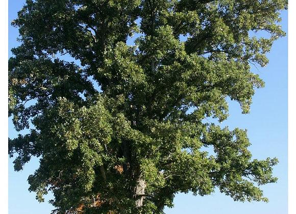 Oak - Bur