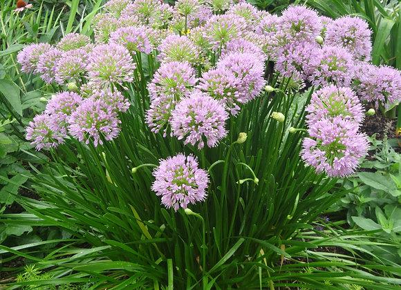 Ornamental Onion - Summer Beauty
