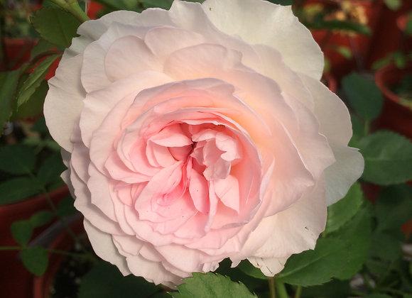 Hardy Rose - Morden Blush