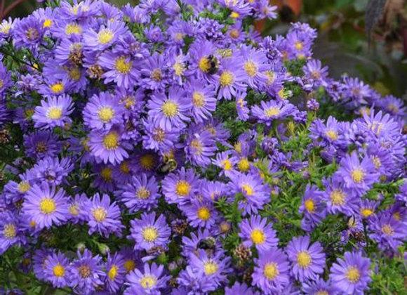 Aster - Kickin Lilac Blue