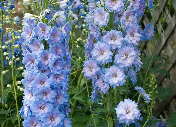 Larkspur - NM Blue Lace
