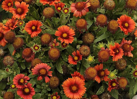 Blanket Flower - Arizona Red
