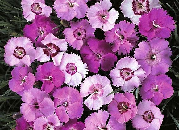 Carnation - Sweetness