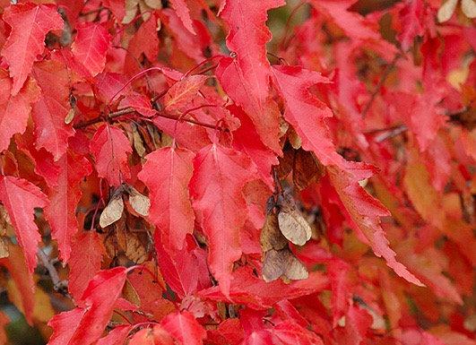 Maple - Amur Shrub Form