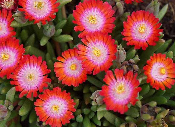 Ice Plant - Jewel of Desert Grenade