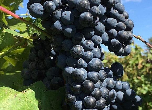 Grape - Marquette