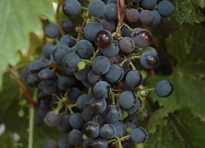Grape - Frontenac
