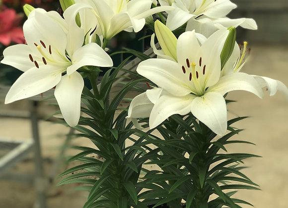 Lily - Hybrid Summer Snow