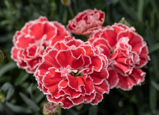 Carnation - Constant Beauty Crush Orange