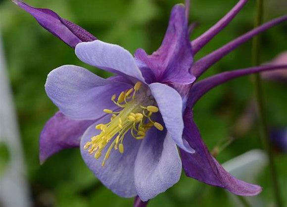 Columbine - Earlybird Purple Blue