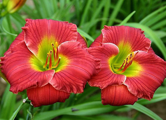 Daylily - Red Hot Returns