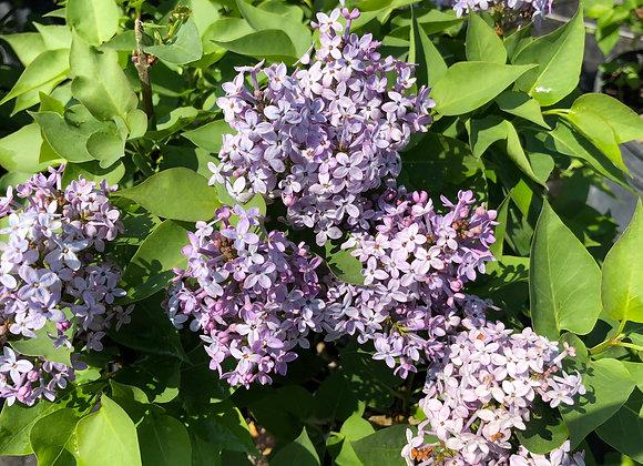 Lilac - Prairie Petite