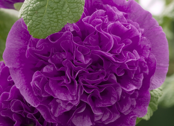 Hollyhock - Chaters Double Purple