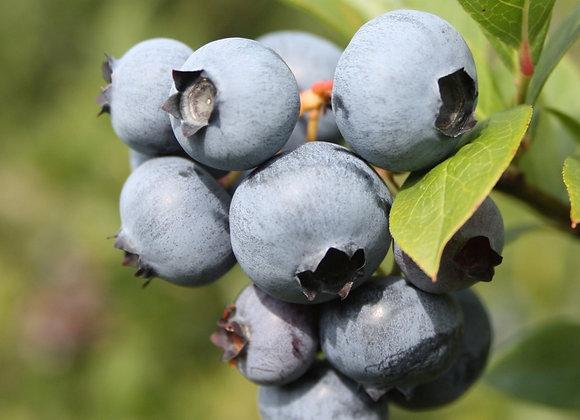 Blueberry - Polaris