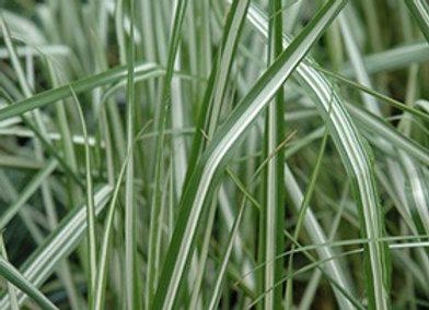 Grass - Avalanche