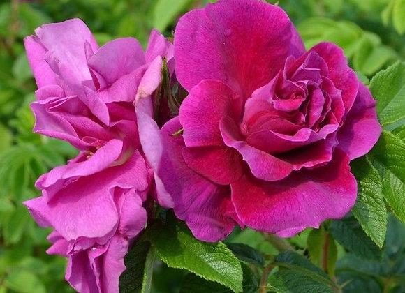 Hardy Rose - Hansa