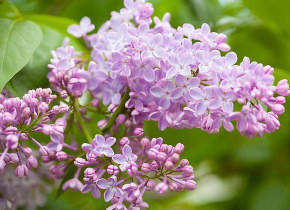 Lilac - Common